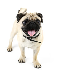 Funny, cute and playful pug dog isolated on white