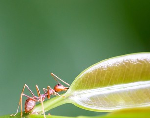 Determined ant