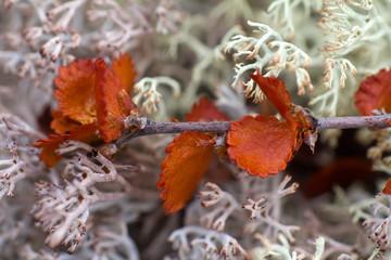 dry Polar Birch macro on moss