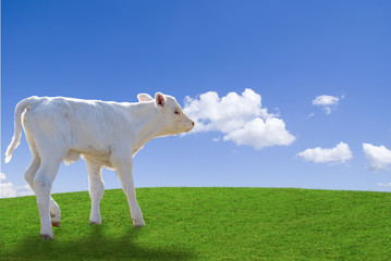White calf running in a green meadow