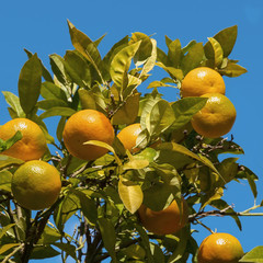 Branches of tangerine tree with ripe  fruits