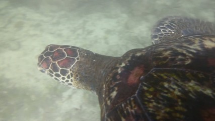 Underwater view of a swimming hawksbill sea turtle