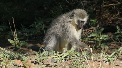 Vervet monkey feeding on plants, South Africa