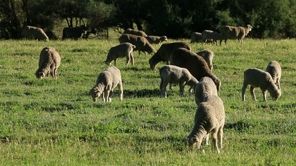 Sheep grazing on green pasture in afternoon light