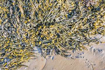 Bladder wrack on the beach