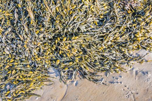 Poster Water planten Bladder wrack on the beach