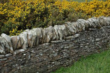 ajonc, Ulex europaeus, mur en pierre