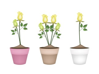 Yellow Roses in Three Ceramic Flower Pots