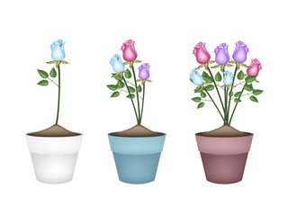 Colorful Roses in Three Ceramic Flower Pots