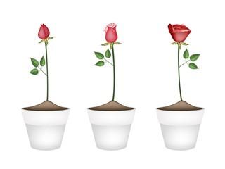 Three Red Roses in Ceramic Flower Pots