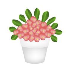 Fresh Crown of Thorns Flowers in Ceramic Pot