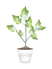 A Jasmine Flower in Ceramic Flower Pot