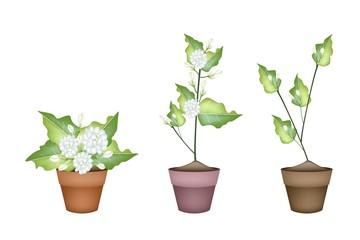 Three Jasmine Flower in Ceramic Flower Pot