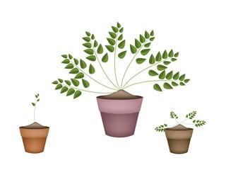 Three Evergreen Plants in Ceramic Flower Pots