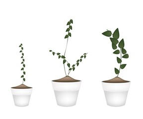 Three Creeper Plant in Ceramic Flower Pots