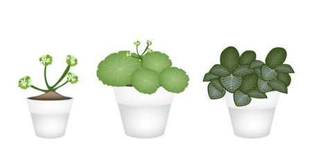 Asiatic Pennywort and Acanthaceae in Ceramic Pots