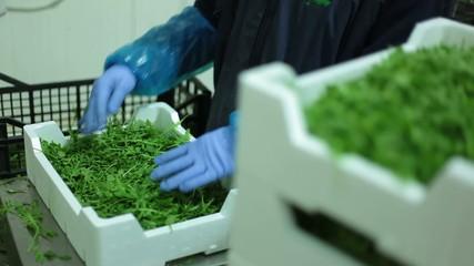 Scelta verdura- stabilimento di confezionamento