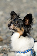 Male papillon watching the owner on a beach