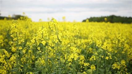 Yellow Oilseed Rape Flowers in the Field Slow Motion Camera