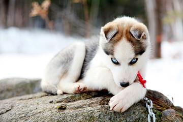Husky puppie 13
