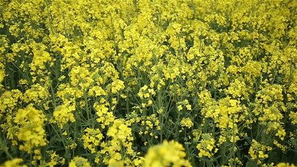 Yellow Oilseed Rape Flowers in the Field Slow Motion Camera