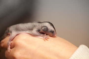 Arboreal gliding possum lays on hand