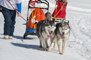 Sleddog competition