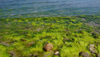 Algen und Steine an der Ostsee