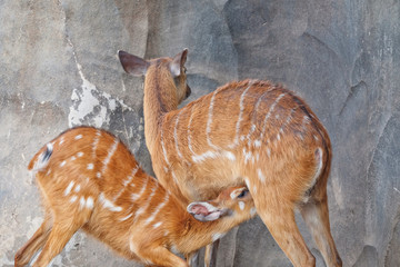 Young sitatunga sucking milk from its mother