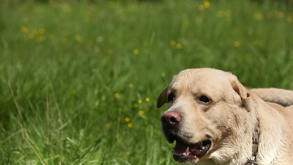 Dog of breed labrador retriever on the lawn barks loudly