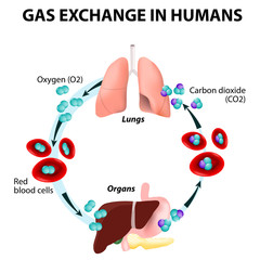 Gas exchange in humans