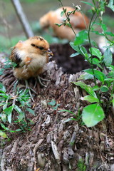 Small chicken-Epi-Vanuatu