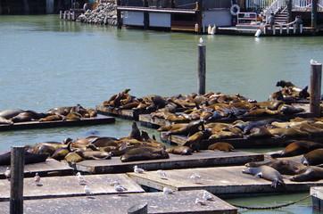 Seals, Pier39 in San Francisco