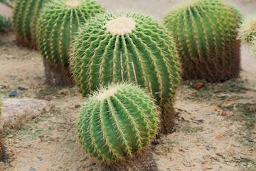 Echinocactus grusonii Hildm