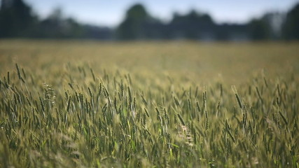 Young wheat moves from the wind. Medium shot. Dolly shot.