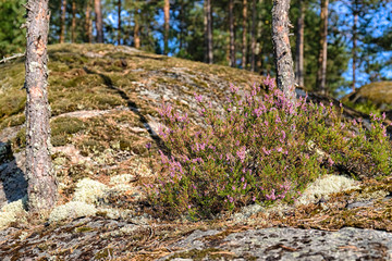 heather bushes