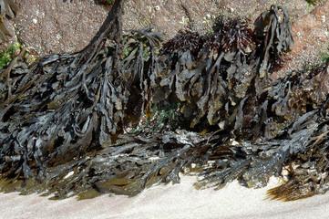 algue, varech vesiculeux, Fucus vesiculosus