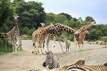 Herd of giraffes and zebras.