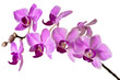 illustration of the violet streaked orchid flower, isolated