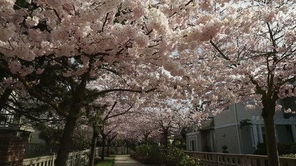 dolly shot, Pink Cherry Blossom Path