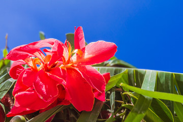 bright red flower on tropical palm tree leaves and blue sky back