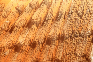 feather of Barn Owl (Tyto alba)