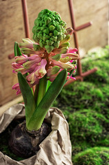 blossoming spring flower hyacinth