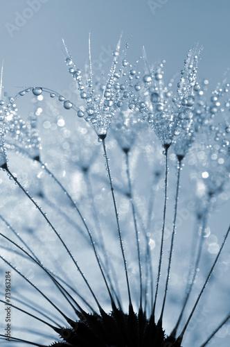 dewy dandelion close up - 73963284