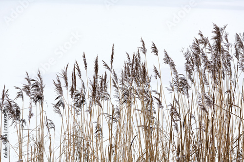 Frozen coastal reed