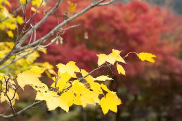 紅葉をバックにイタヤカエデの黄葉