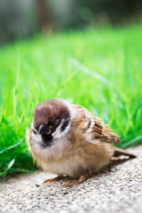 Sick Sparrow Bird On The Ground