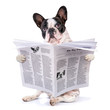 canvas print picture - French bulldog reading newspaper over white