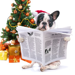 French bulldog reading newspaper under christmas tree