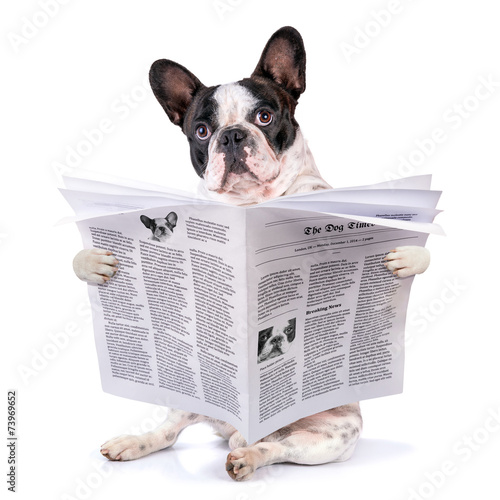 canvas print picture French bulldog reading newspaper over white